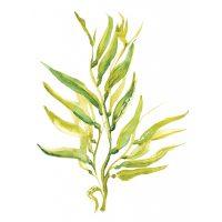 Seaweed_400x400